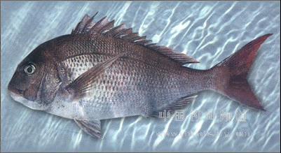 未用虾青素饲料的鱼儿