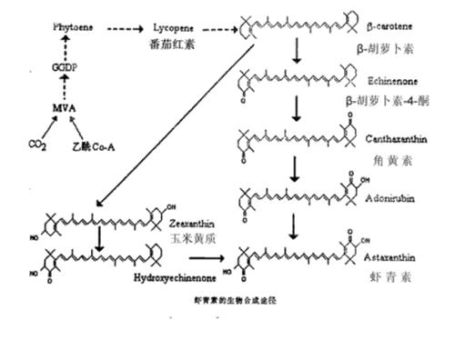 虾青素的生物合成途径