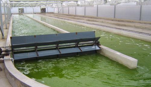 养殖雨生红球藻((天然虾千赢国际网页)的生产过程:绿色生长阶段